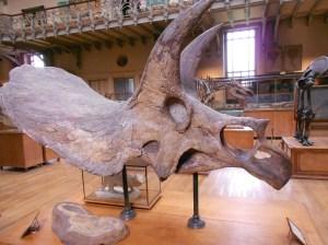 A centrosauros skull?