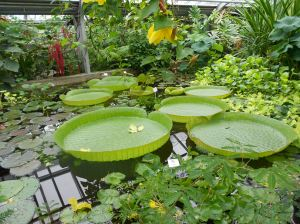 Gigantic water lilies at the Potsdam botanical garden
